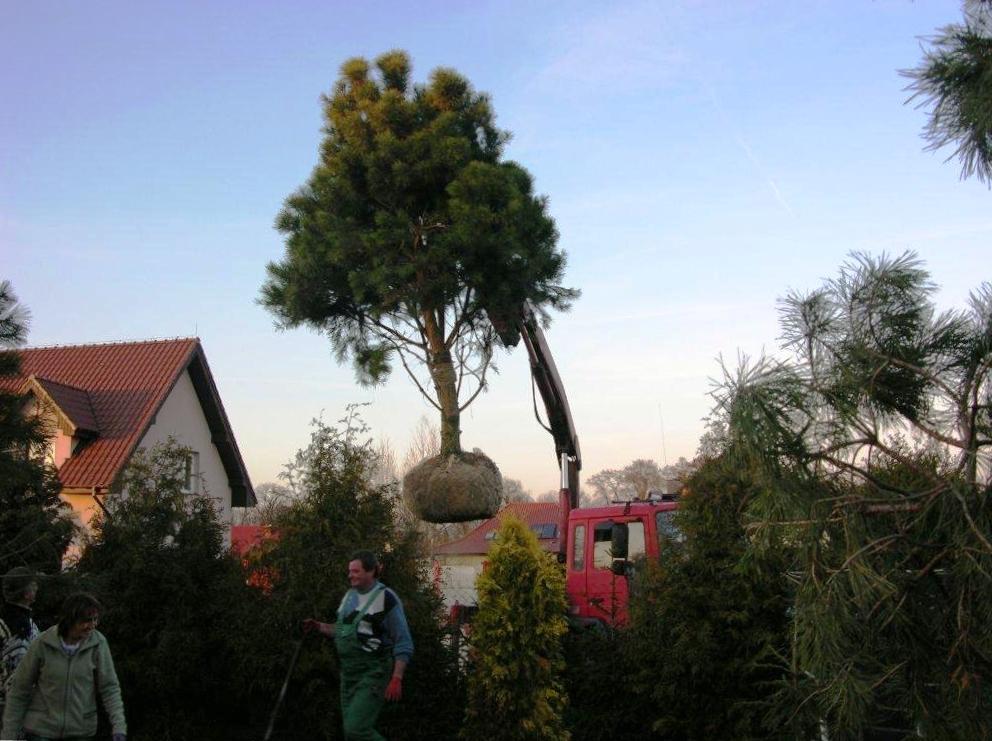 sosna sadzenie