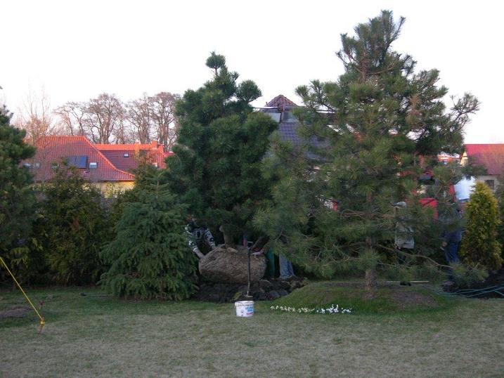 sosna sadzenie2